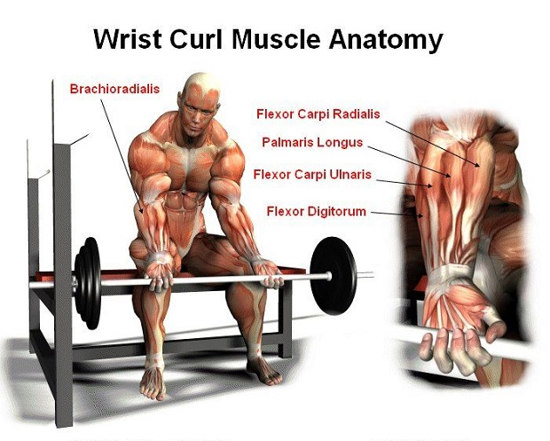 Barbell Wrist Curls Have Long Been Recognized As The Best Forearm Exercises For Building Up Muscle Perform This Exercise While Sitting On A Bench