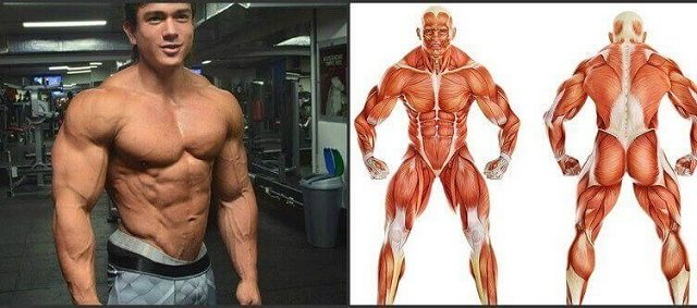 Image result for muscle growth