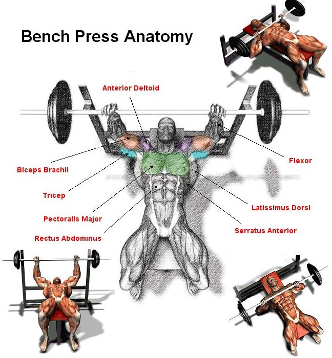 Barbell Bench Press - Medium Grip | Exercise Videos ... |Flat Bench Press Muscles Worked