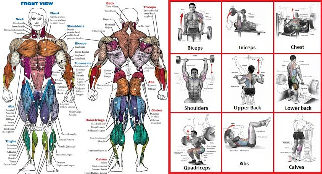 A List Of Top Weight Training Exercises For Each Muscle Group Gymguider Com