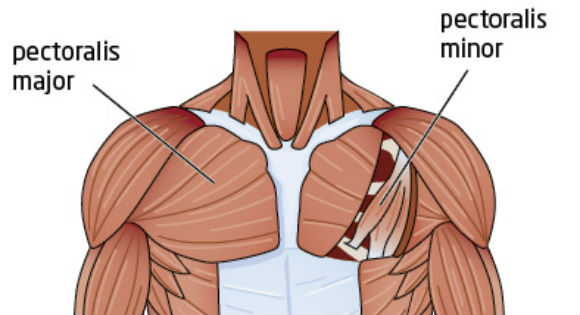 These Are The Two Fan Shaped Muscles That Overlap Each Other Forming Chest There Is An Easily Forgotten Partner To Form A Triple Threat